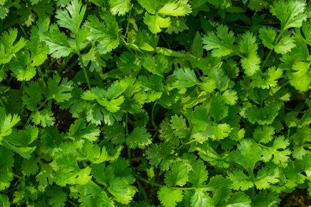 Top view of huge coriander leaf background texture
