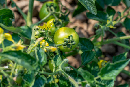 Tomato plants are regular leaf varieties with small, serrated leaves, while the Green Giant tomato plant