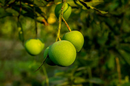 A group of small green rounded lota Bombay mango sweet and sour delicious mango fruits