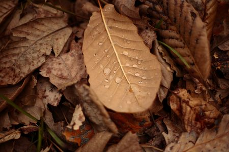 decomposing: Water drops between the veins of decomposing fallen leaves after late autumn rainfall