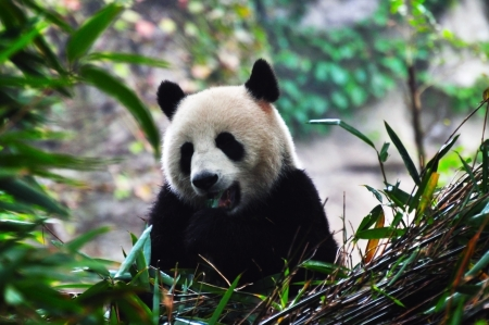 The giant panda  Stock Photo