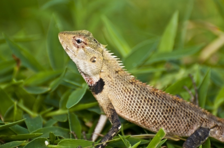 Oriental garden lizard - female