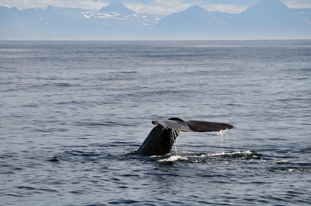 Humpback whale starting to dive with its fluke above the water