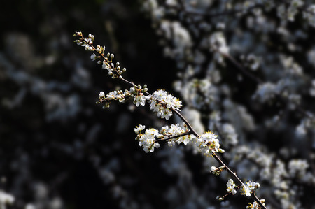 Apple tree in bloom - natural spring background Stock Photo