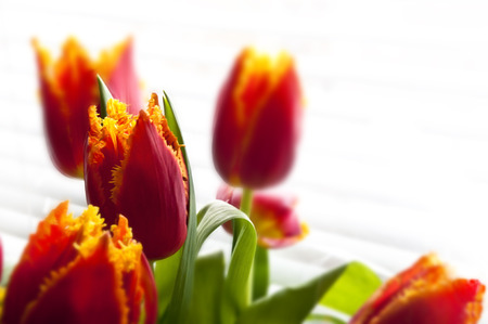 Red - orange tulips bouquet on white background Stock Photo