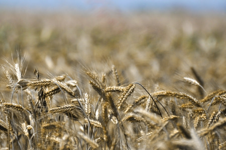 Crops before harvest - rural background Stock Photo
