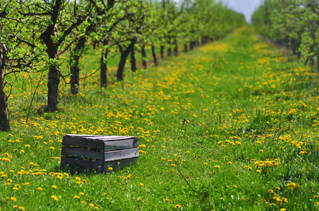 Apple orchard in early summer with empty basket, ready for harvesting.
