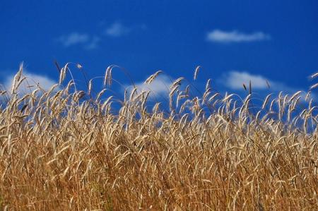 Golden crops against blue sky - summer rural background
