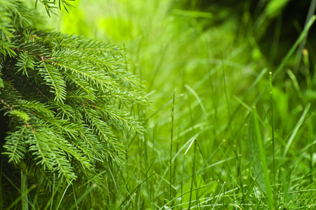 Fresh green background - spring nature abstract. Spruce tree and grass.