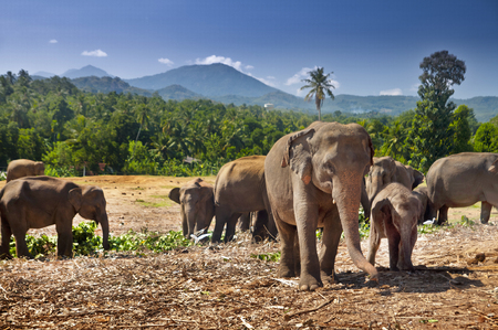 Elephant herd in Sri Lanka. Cub and his mother. Stock Photo
