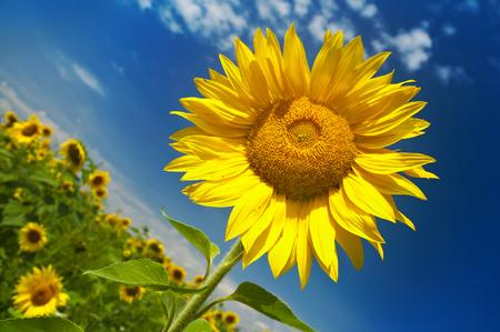 Sunflower field on a sunny summer day