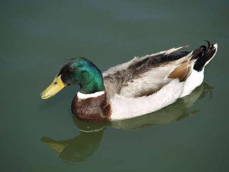 Canard colvert prenant un bain dans le lac Banque d'images - 4130091