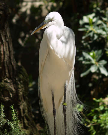 White Egret relaxing in the shade of a tree Banque d'images