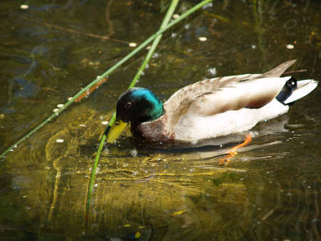 Mallard duck eating on the lake
