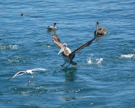 Pelican coming in for a landing       Banque d'images
