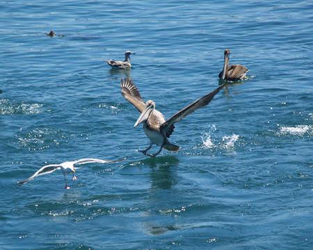 Pelican venir pour un atterrissage Banque d'images - 4164931