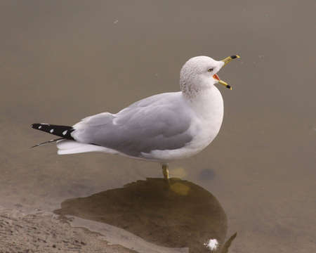 Sea gull with mouth open Banque d'images