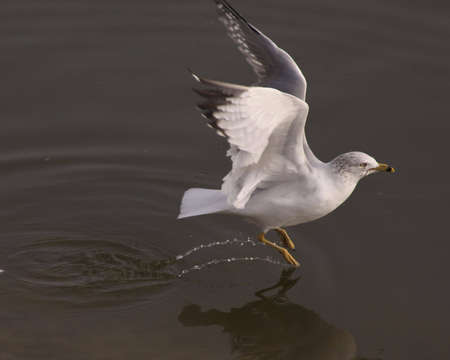 Sea gull taking off out of the water