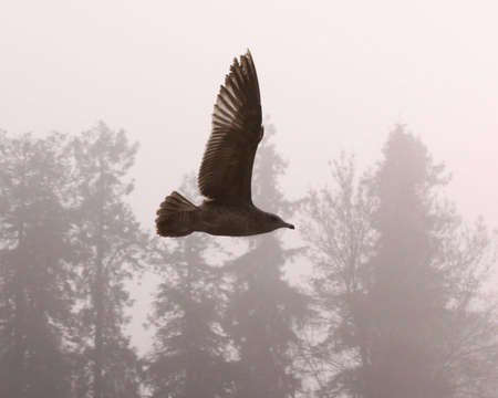 Sea gull flying in the fog