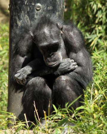 Sad Chimpanzee Banque d'images