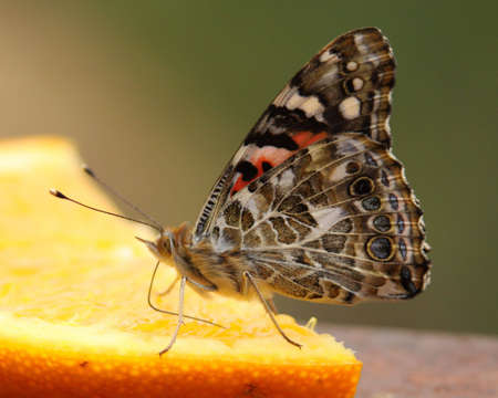 Painted Lady Butterfly Banque d'images