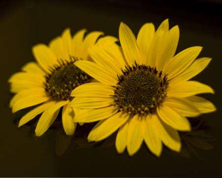 Sunflowers Banque d'images - 5000082