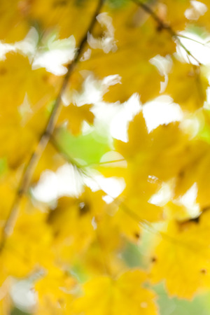 Yellow defocused leafs