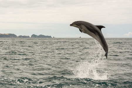 Jumping dolphin in Bay of Islands, New Zealand