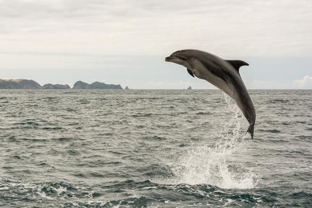 Sauter le dauphin dans la baie des îles, Nouvelle-Zélande