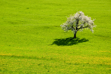 Lonely blooming cherry tree in the middle of green meadow
