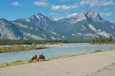 Grazing mountain goats near road in Jasper National Park in Rocky Mountains, Canada Stock Photo