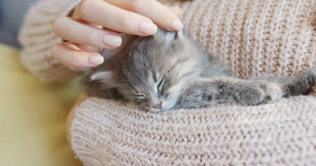 Close up of nice little kitty sleeping on the womans hands in the warm pink sweater. Indoors Stock Photo
