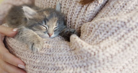 Cute little pussycat sleeping on the womans hands in the pink sweater. Inside. close up