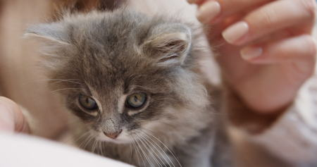 Close up of a cute little kitty sitting in the female hands which stroking it. Indoor Stock Photo