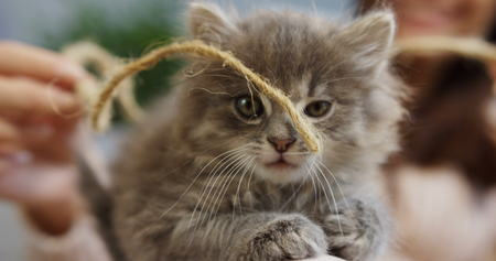 Close up of a muzzle of a little cute kitty playing with a thread. Female hands on the blurred background. Inside Stock Photo