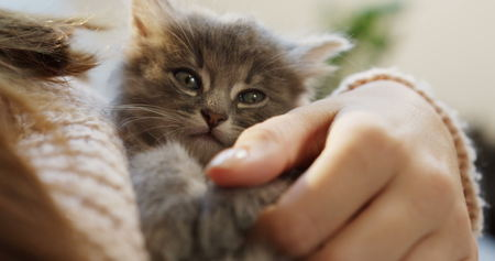 Close up of a cute small grey kitty lyingin the womans hands which stroking it. Indoors Archivio Fotografico