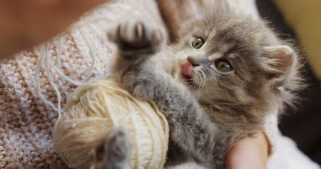Close up of grey pussycat playing with a ball of white thread in the womans hands. Small funny cat. Stock Photo