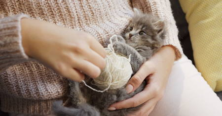 Close up of a grey small cute pussycat lying on its back and looking at the womans hands playing with its paws and a thread. Inside