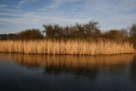 Golden reeds at the side of a canal in autumn Stock Photo