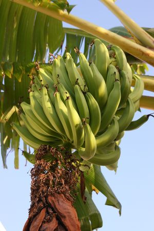 A bunch of bananas growing naturally