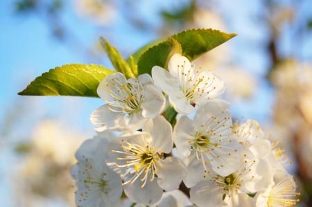 fleur de cerisier: Cherry flower en fleur