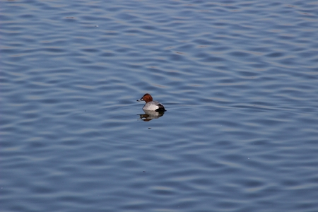 Pochard duck on the lake in winter Stock Photo