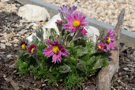 big purple flowering pasque flower on garden  rockery  with small stones and mulch Stock Photo