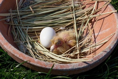 pigeon egg: newly hatched chick in the nest pigeon