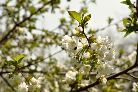 awaking: cherry blossom  with spring leaves awaking of nature