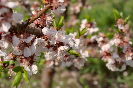 awaking: cherry blossom with young green leaves awaking of nature
