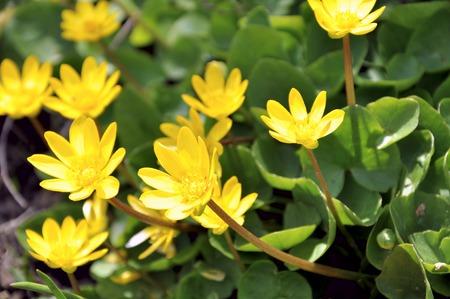 awakening: Lesser celandine.The first spring flowers. The awakening of nature Stock Photo