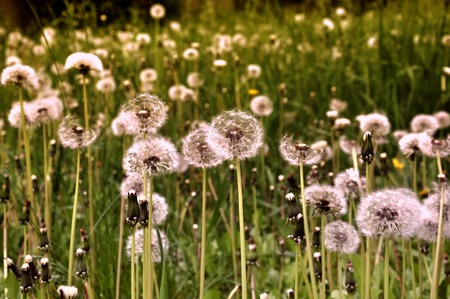 posterity: soft fluffy head faded dandelion in the meadow in spring Free and easy