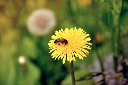 pollination: Bee on a yellow dandelion head with small bee
