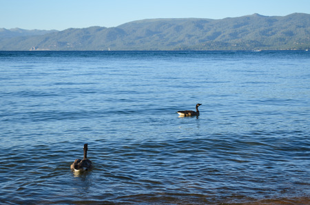 Two ducks on Lake Tahoe in the evening during summer photo